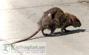 Chuột cống đàn