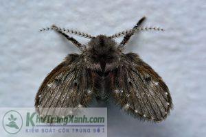 ruồi cống