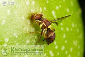 ruồi trái cây