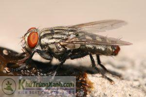ruồi xám