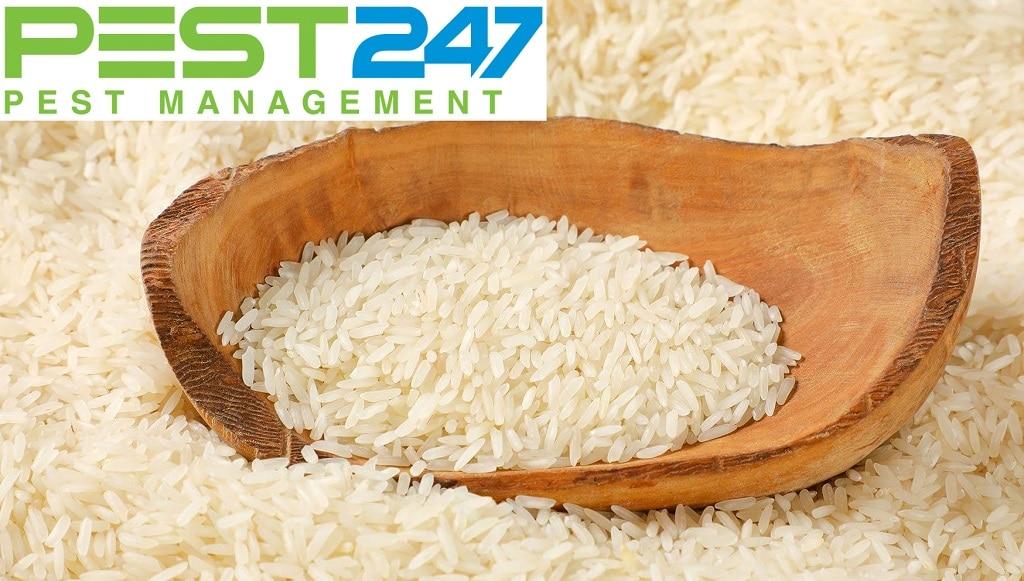Mọt gạo