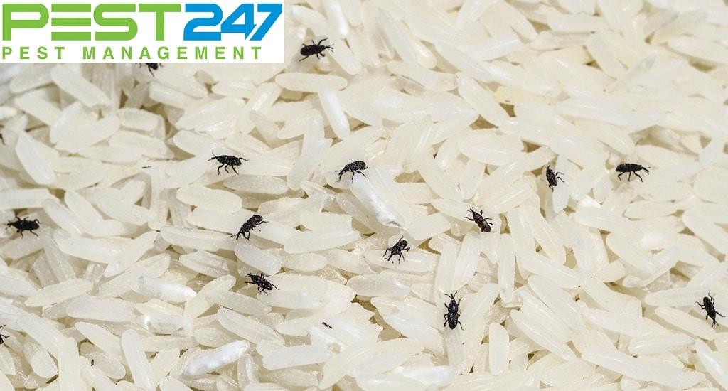 Mọt gạo 4