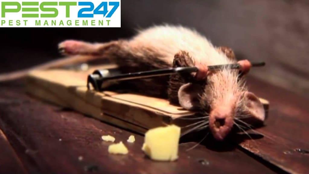 Bẫy bắt chuột sinh học