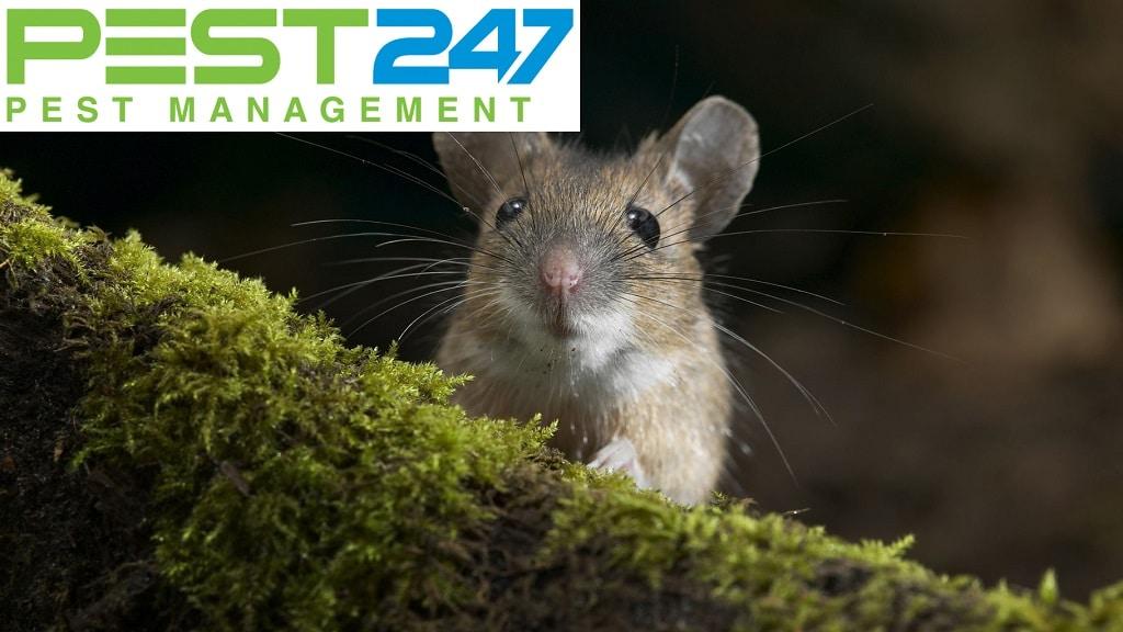 Các loại dịch bệnh do chuột gây ra
