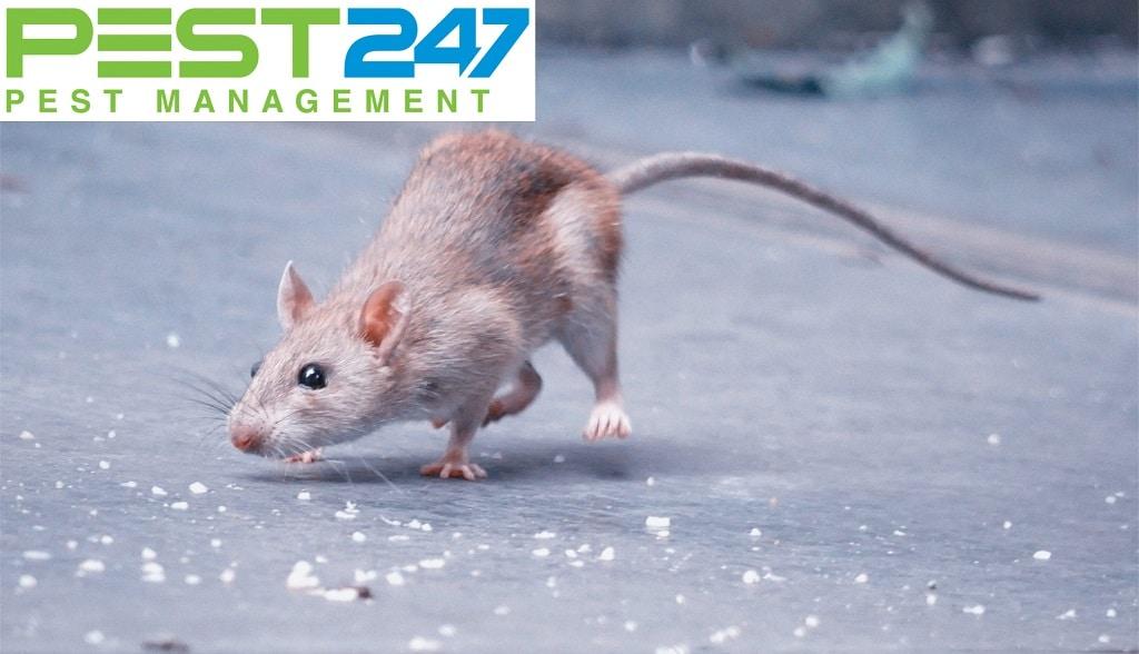 Cách diệt chuột hóa học