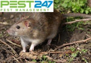 Cách diệt chuột, bắt chuột, đuổi chuột nhanh nhất