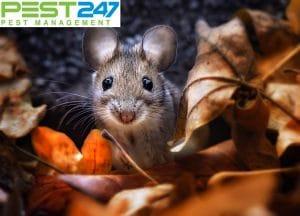 7 cách diệt chuột trên trần nhà cực hiệu quả