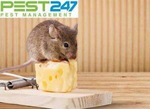24 Mẹo Đuổi Chuột Ra Khỏi Nhà Cực Kỳ Hiệu Quả
