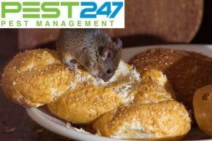 Thông tin về chuột nhắt (chuột nhà) – Tập tính, thói quen