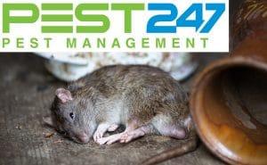 CHUỘT CỐNG – Những cách diệt, đuổi chuột cống hiệu quả nhất