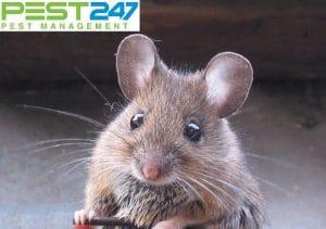 Những thông tin về loài chuột nhà