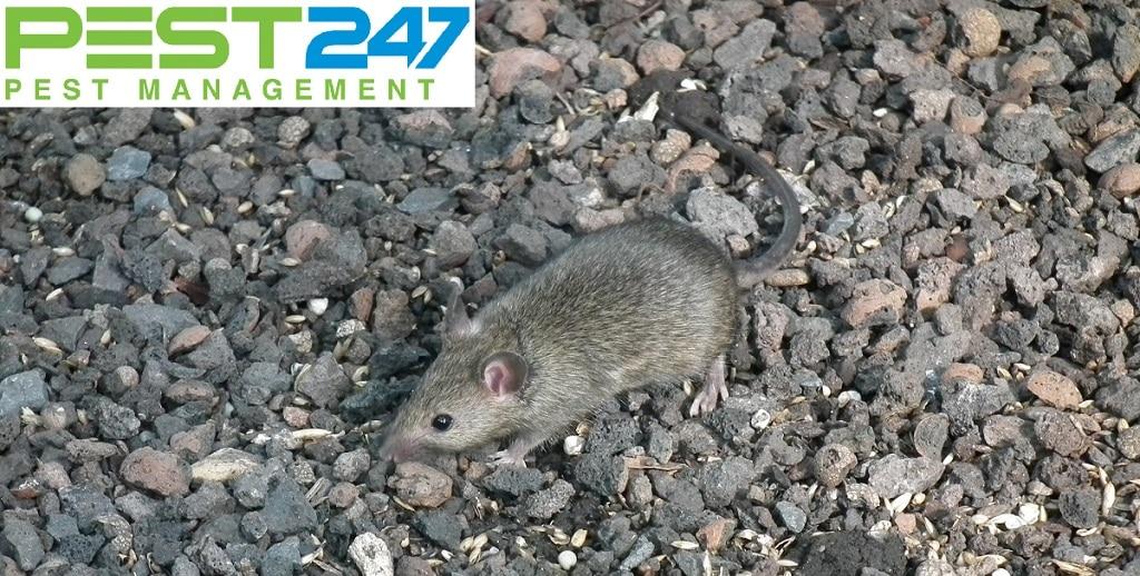 Con chuột nhà