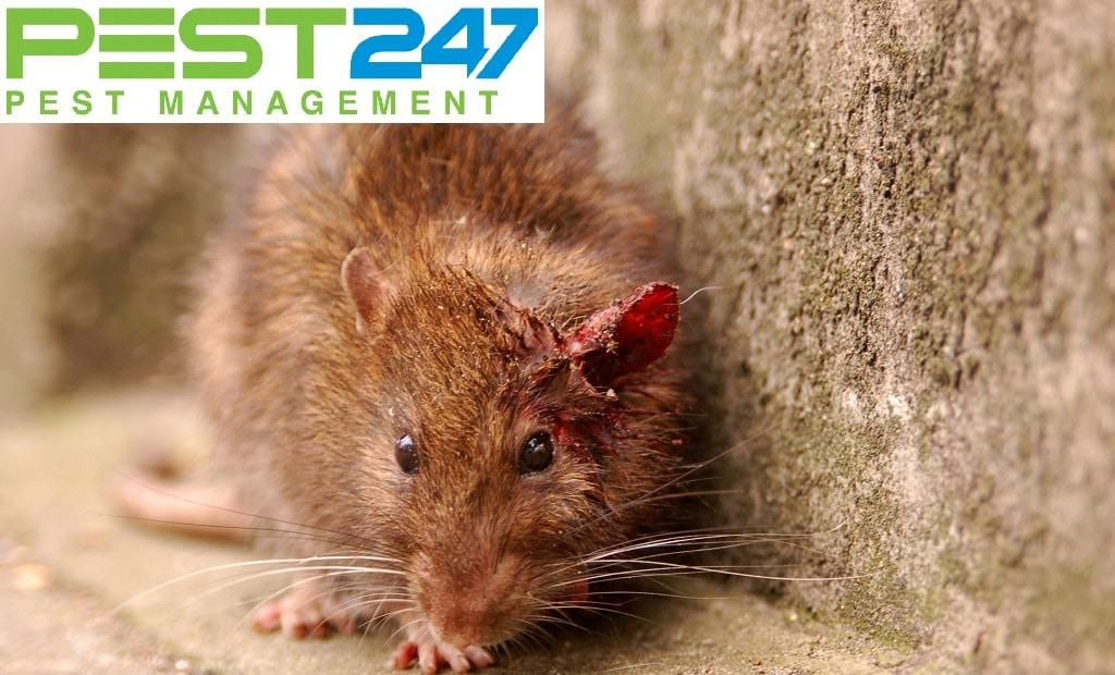 Dịch bệnh do chuột gây ra