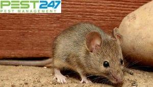 Chuột sợ mùi gì? Những mùi khiến chuột tránh xa