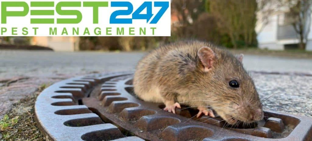 Loài chuột - con chuột cống
