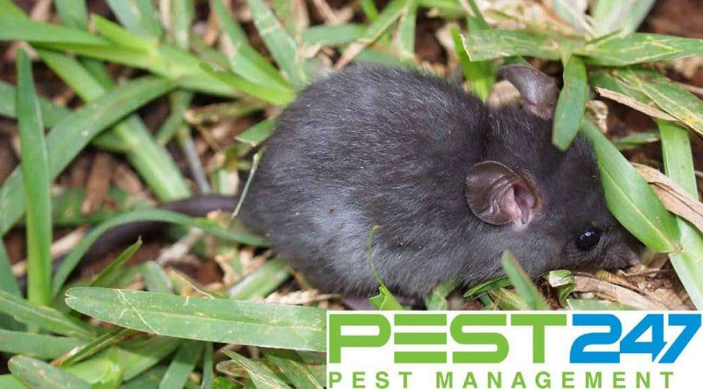 Loài chuột - con chuột mái nhà