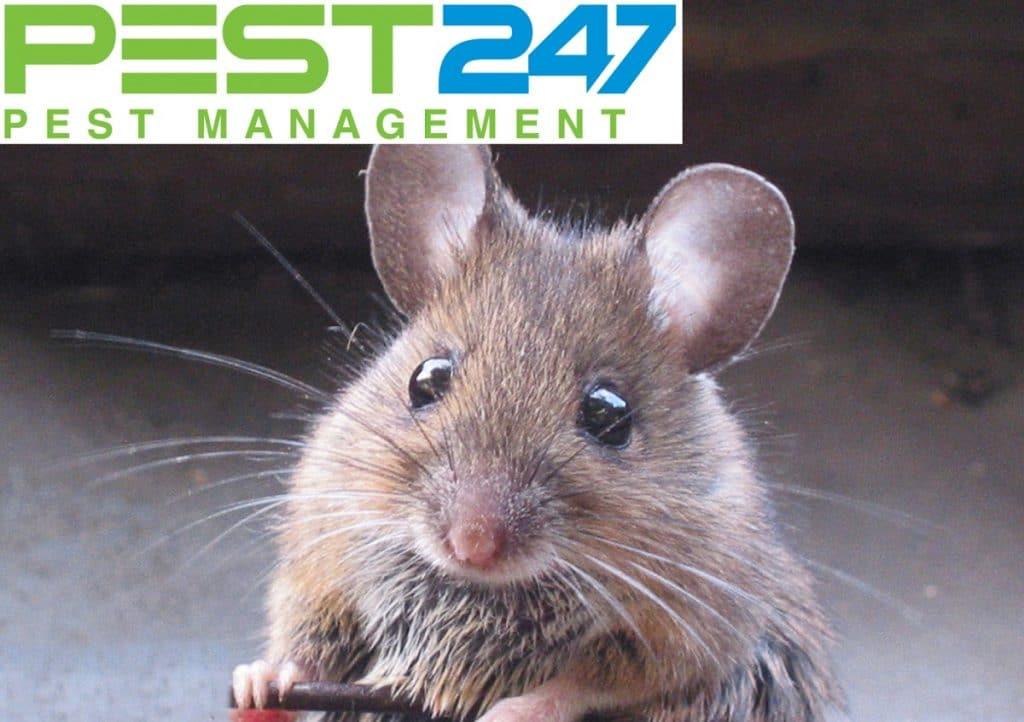 Loài chuột - Con chuột nhắt