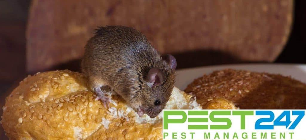 Tác hại của loài chuột
