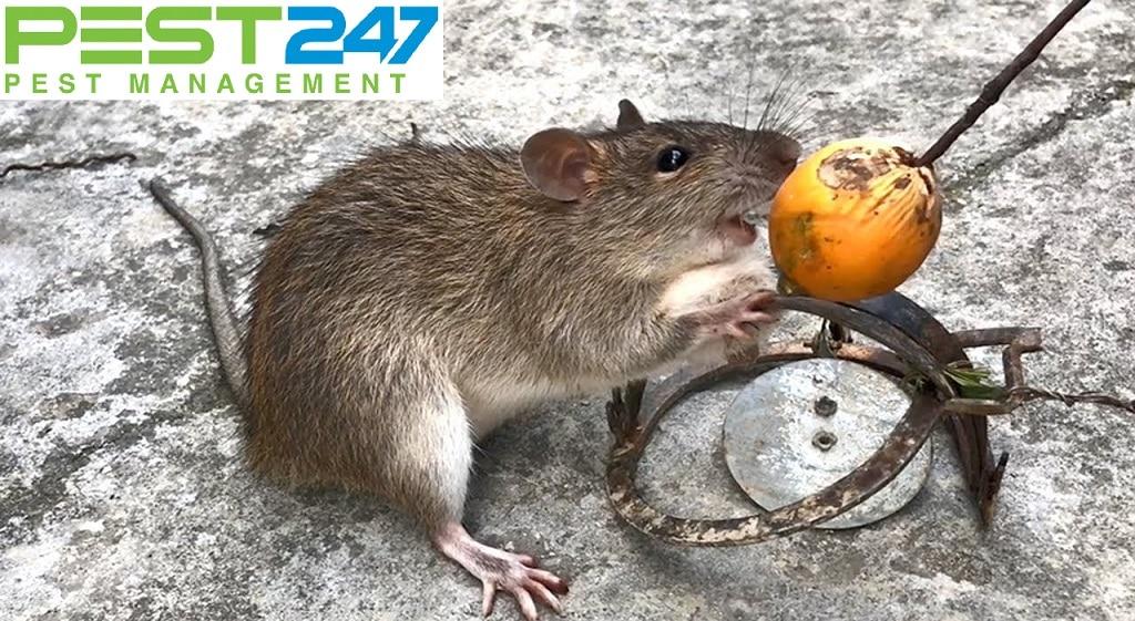 Tập tình gây hại của loài chuột-1