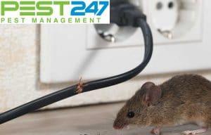 Mẹo diệt chuột đơn giản tại nhà