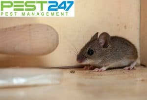 Tại sao không nên tự Diệt chuột trong nhà?