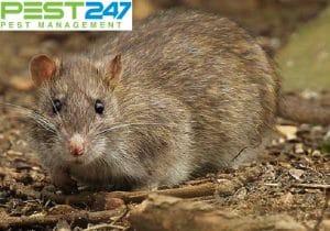 Phương pháp phòng chuột và diệt chuột tốt nhất