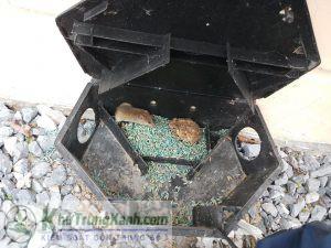Công ty kiểm soát chuột, tiêu diệt chuột tại Bình Định