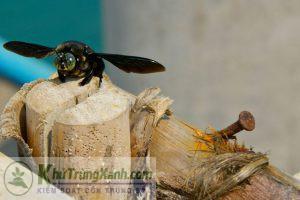 ong đục gỗ