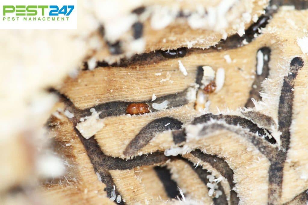 Mọt gỗ và cách diệt mọt gỗ đơn giản và hiệu quả nhất