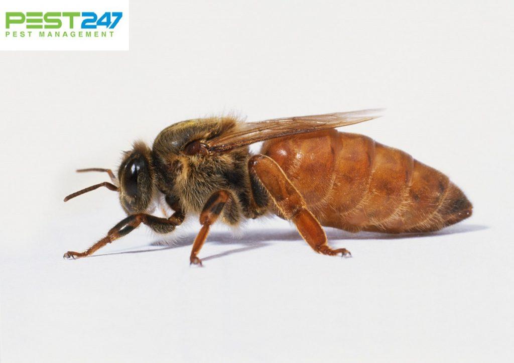 Loài ong - những điều thú vị về loài ong mà bạn chưa biết