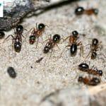 Loài kiến thường gặp ở Việt Nam