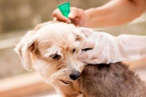 7 loại thuốc diệt bọ chét chó mèo hiệu quả nhất