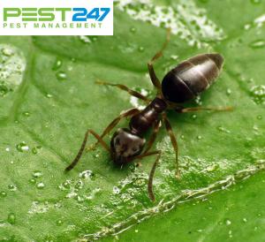 10 cách diệt kiến hôi trong nhà cực kỳ đơn giản mà hiệu quả
