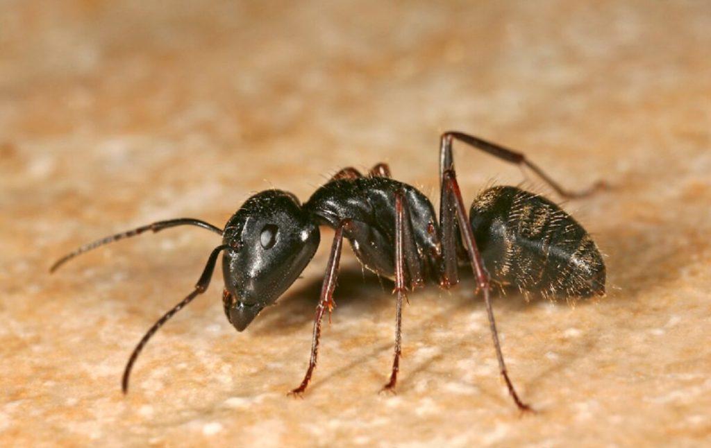 kiến đen