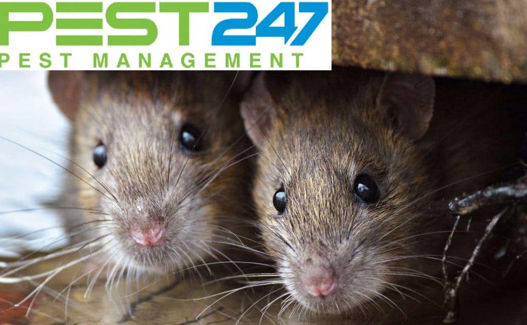 Loài chuột - con chuột cống -1