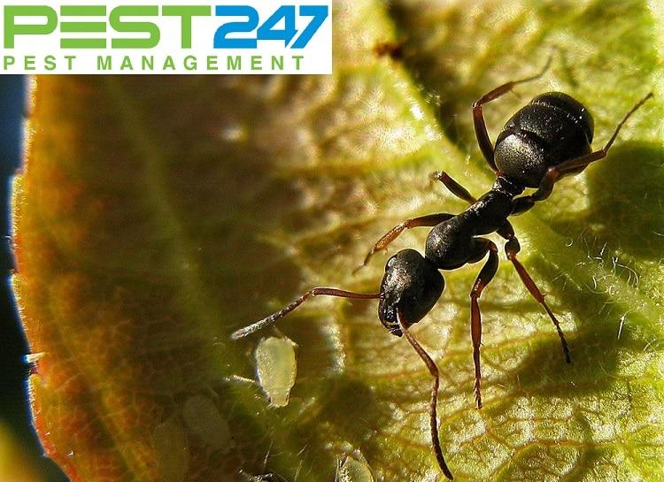 Kiến đen - Những thông tin bạn cần biết về kiến đen