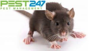 Tập tính gây hại của loài chuột